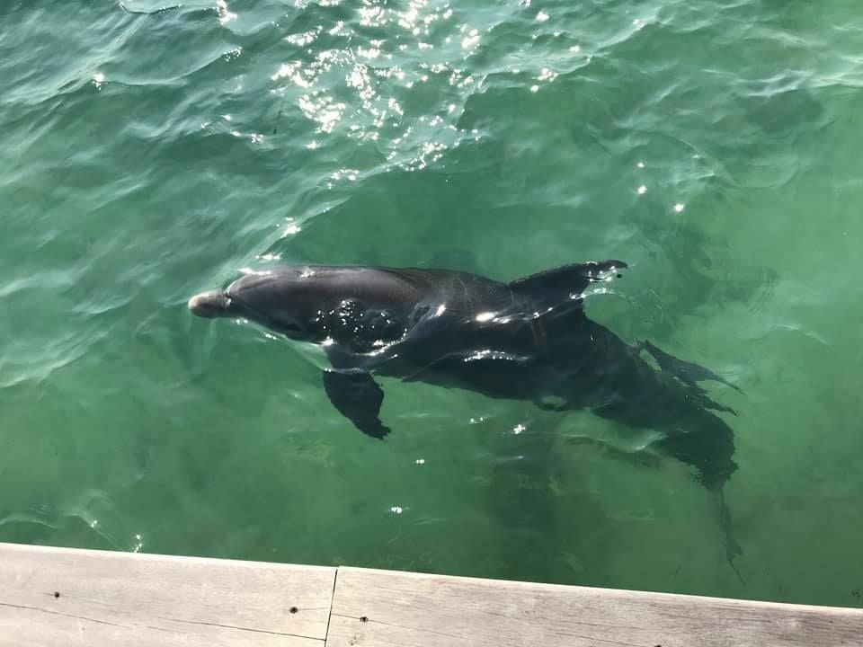 Welcoming-Committee---Dolphin-Fun---St.-Georges-Caye-Resort---Belize